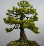 Bonsai Pin blanc du Japon, Pinus pentaphylla, no. 5845