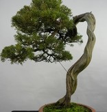 Bonsai Juniperus chinensis itoigawa, Jeneverbes, nr. 5846