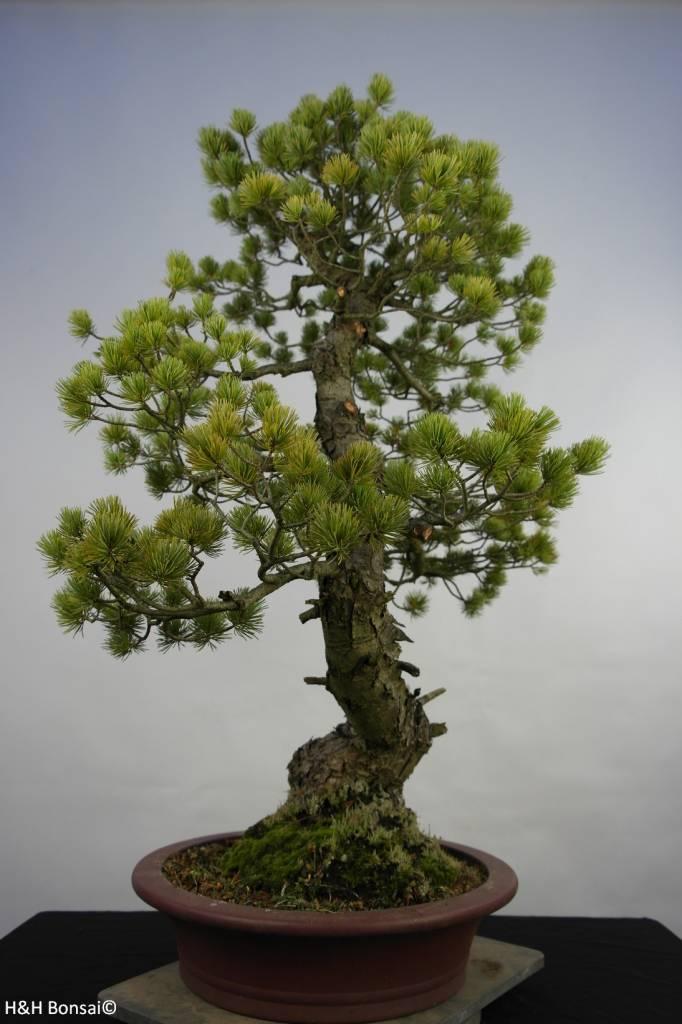 Bonsai Pinus penthaphylla, Japanse witte den, nr. 5847