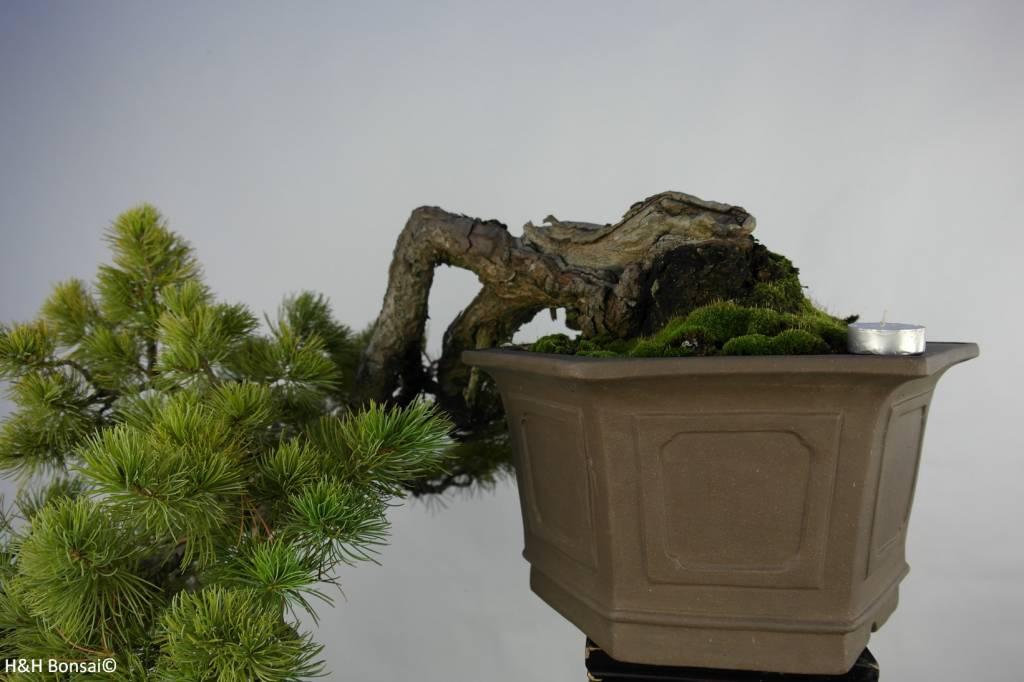 Bonsai Pinus penthaphylla, Japanse witte den, nr. 5848