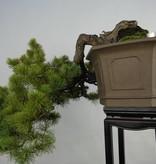 Bonsai Mädchenkiefer, Pinus penthaphylla, nr. 5848