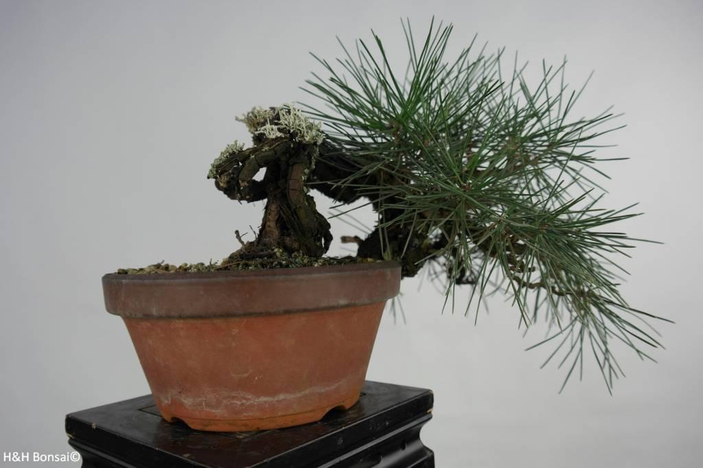 Bonsai Shohin Pinus thunbergii, Japanse zwarte den, nr. 5849
