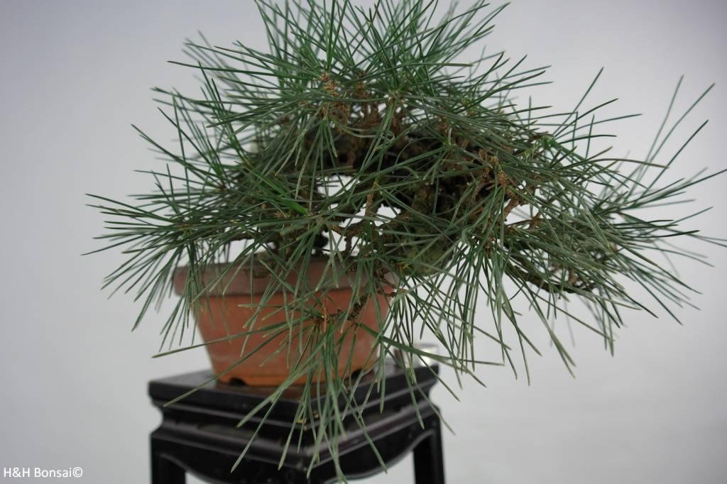 Bonsai Shohin Schwarzkiefer, Pinus thunbergii, nr. 5849