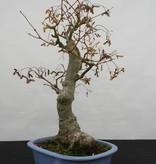 Bonsai Jap. Fächerahorn, Acer palmatum, nr. 5851