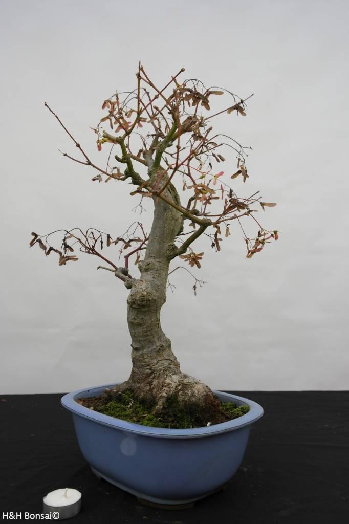 Bonsai Acer palmatum, Japanse esdoorn, nr. 5851