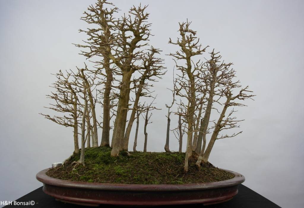 Bonsai Acer buergerianum, Drietands Esdoorn, nr. 5852