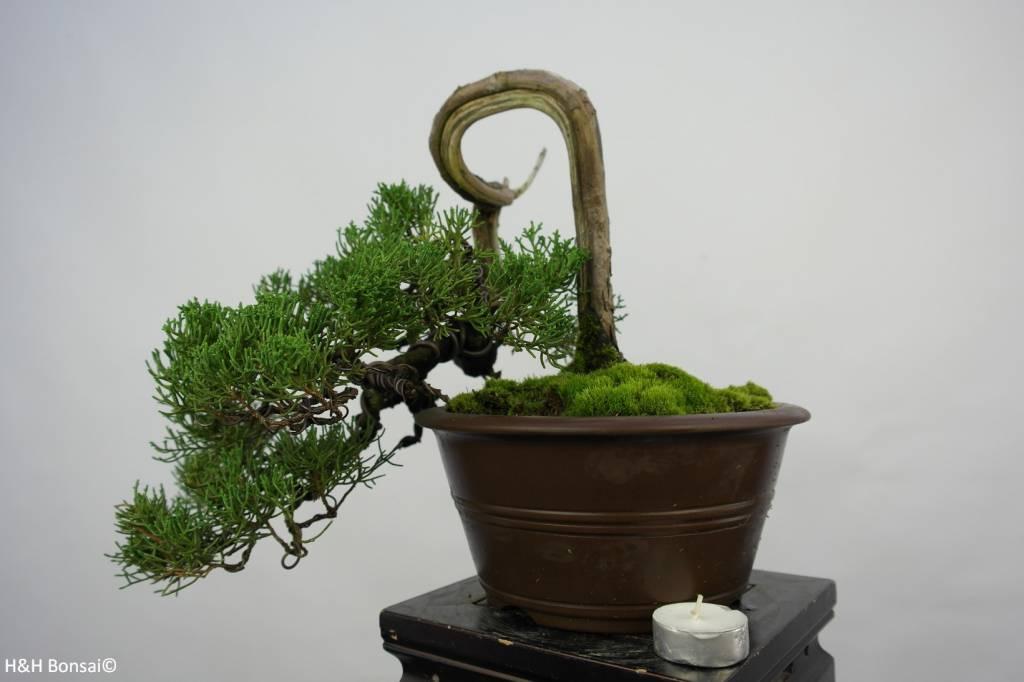Bonsai Juniperus chinensis, Jeneverbes, nr. 5858