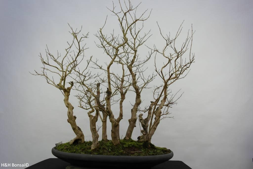 Bonsai Lagerstroemia, nr. 5860
