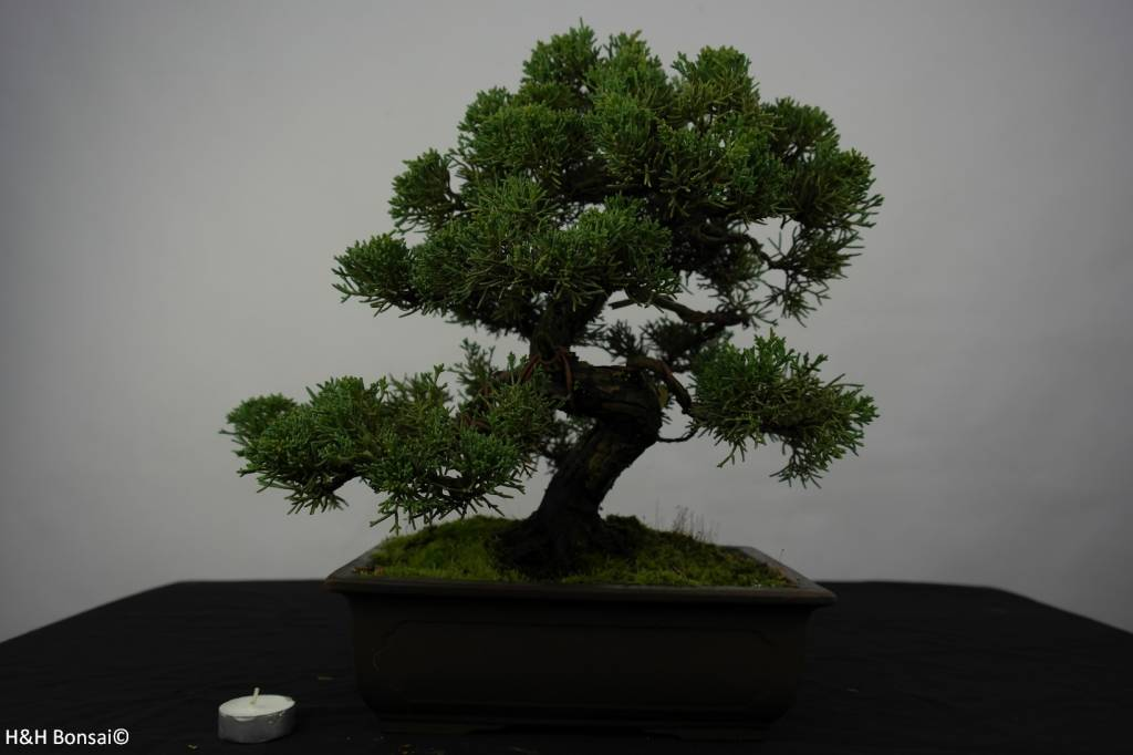 Bonsai Juniperus chinensis, Jeneverbes, nr. 5863