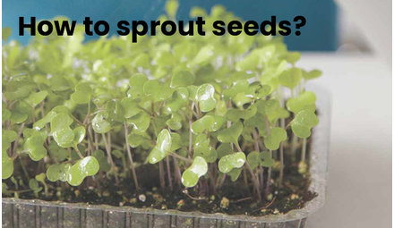 How to sprout seeds?