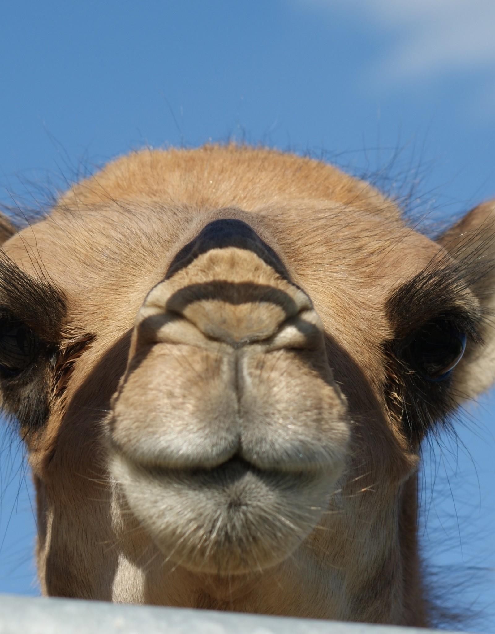 Gutschein für Kamelerlebnis 2