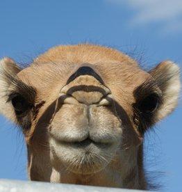 Expérience chameau 2