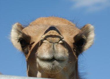 Expérience chameau