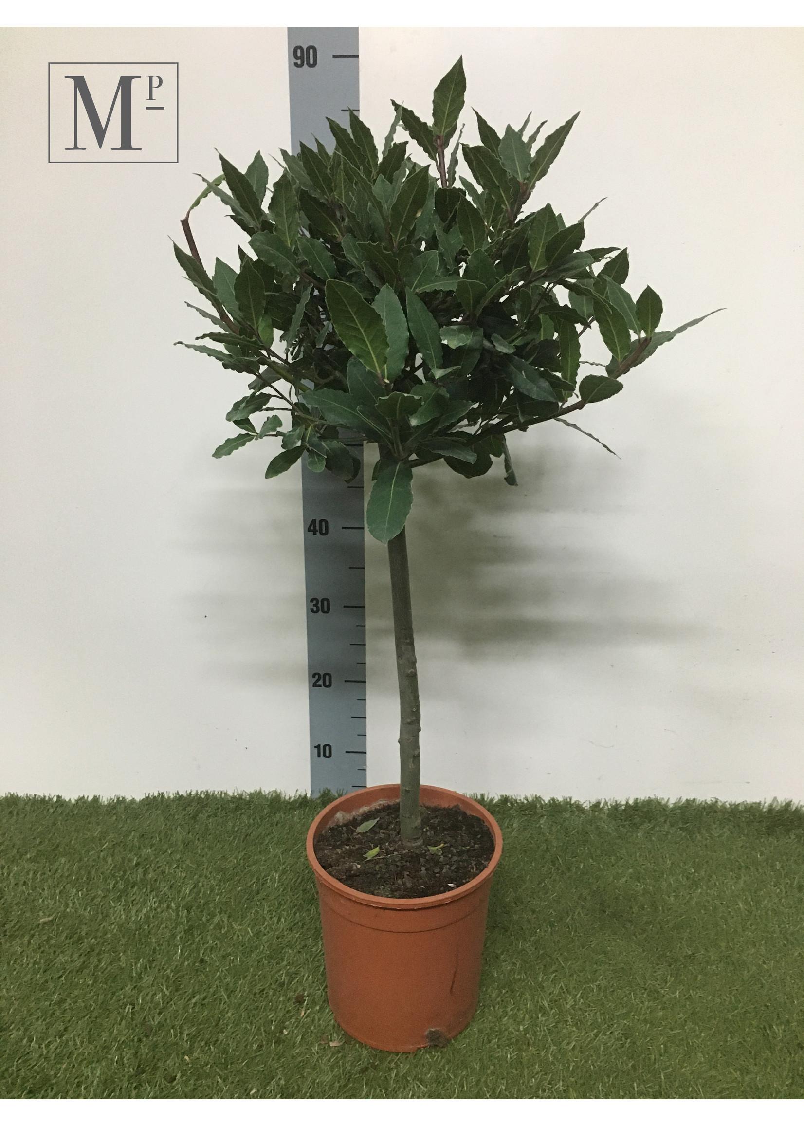 Laurus Nobilis Laurus Nobilis Stam 90cm