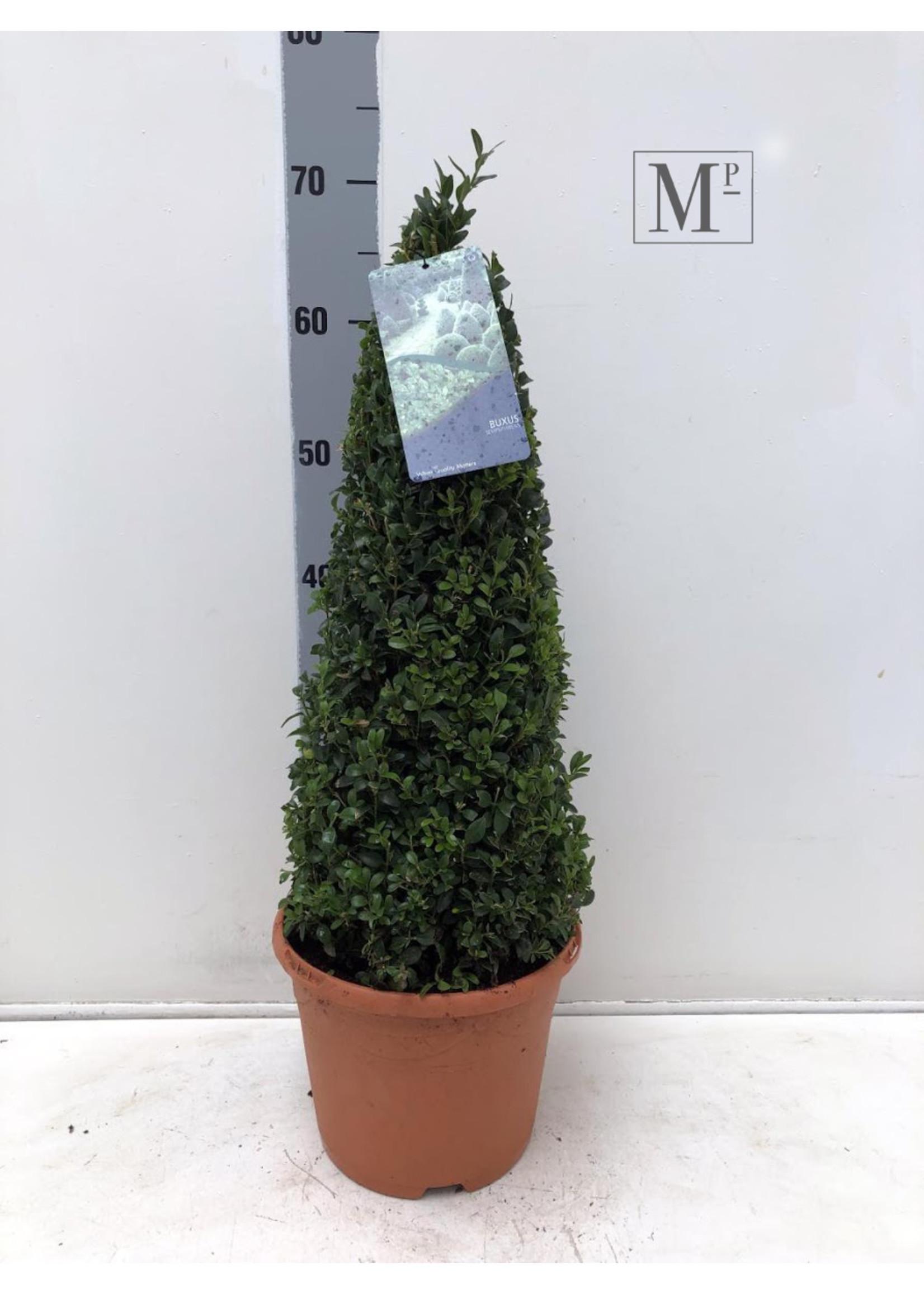 Buxus Buxus sempervirens Pyramide 70cm Deco pot