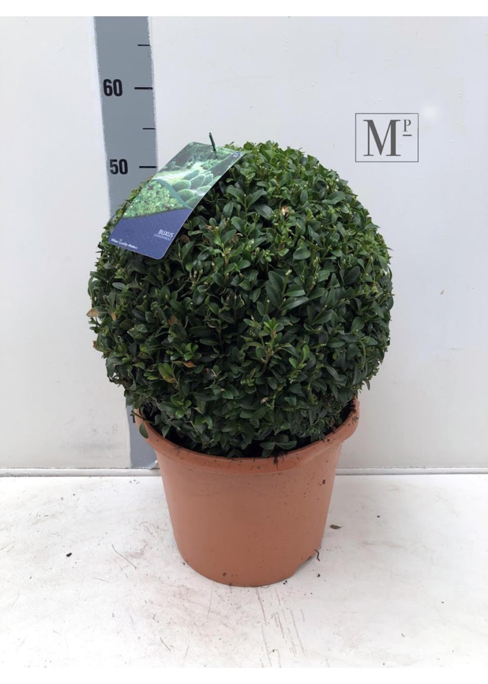 Buxus Buxus Bolvormig 35cm