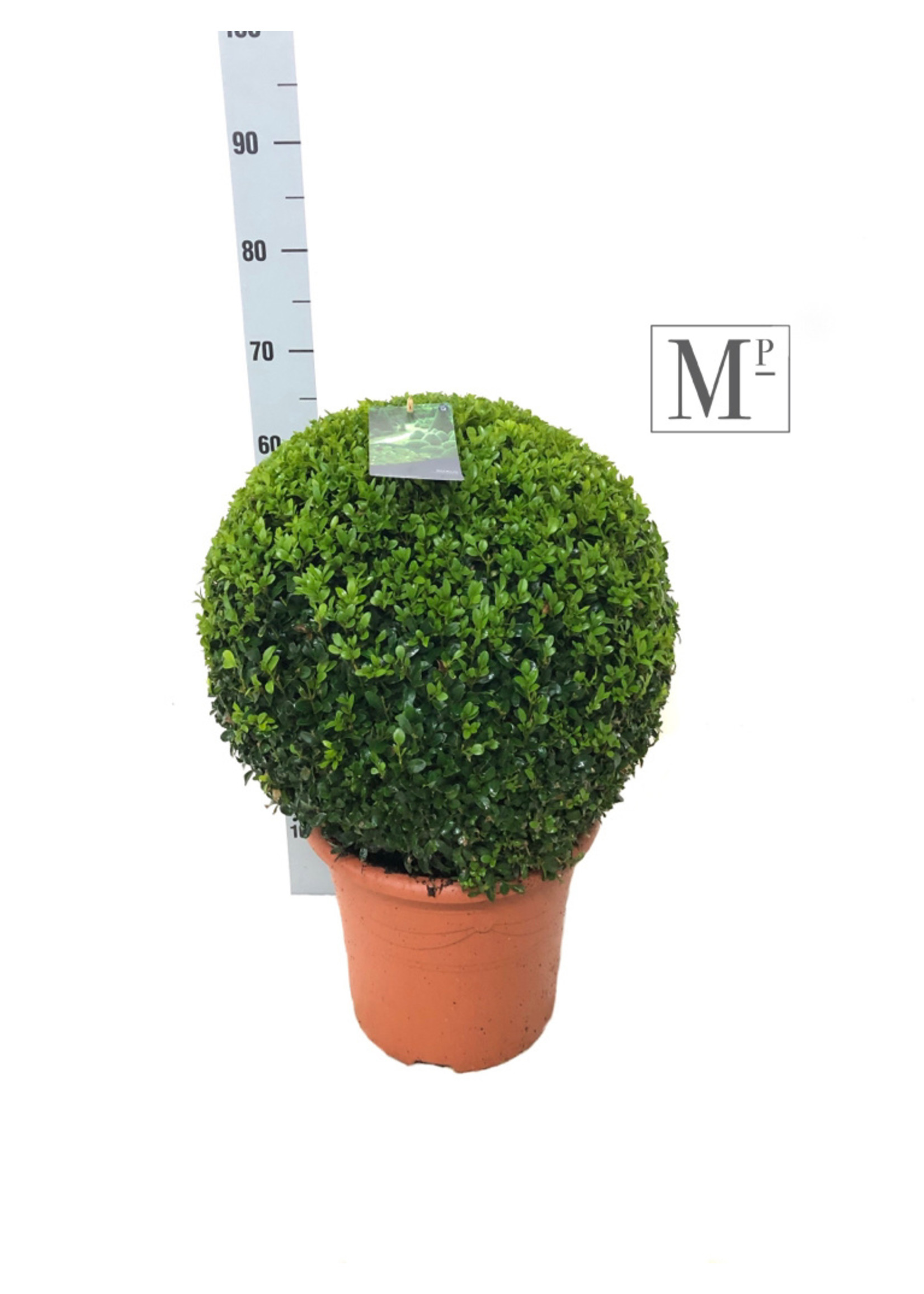 Buxus Buxus Bolvormig 45cm