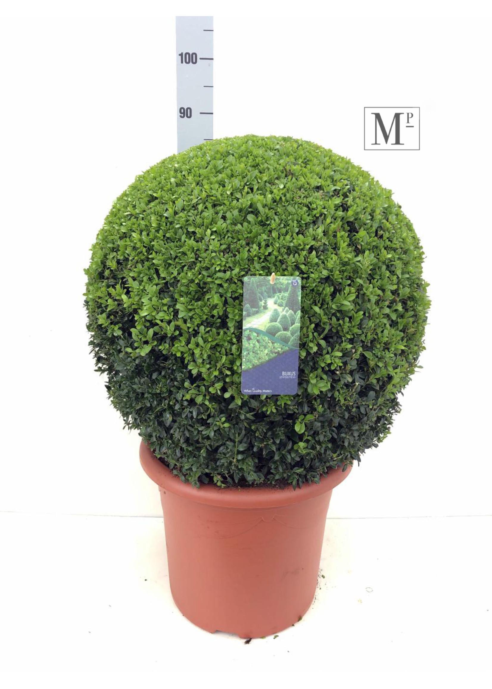 Buxus Buxus Bolvormig 50cm
