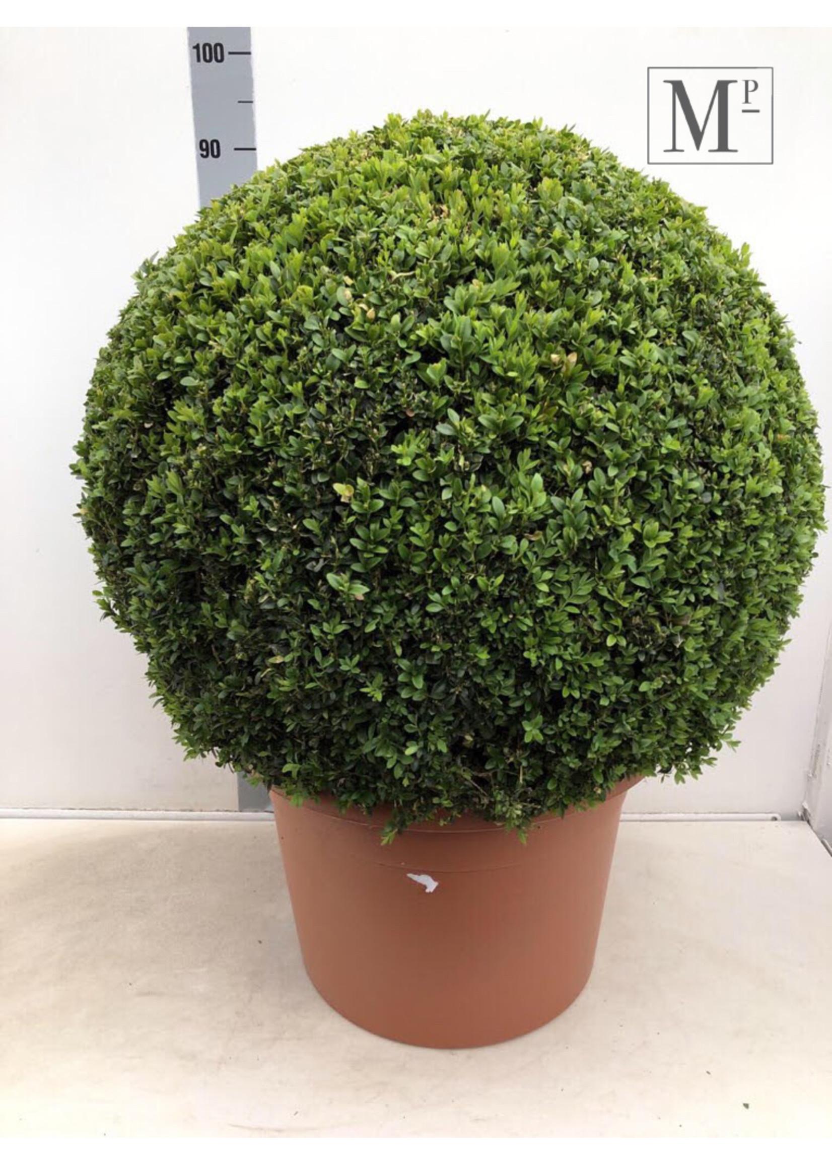 Buxus Buxus Bolvormig 70cm