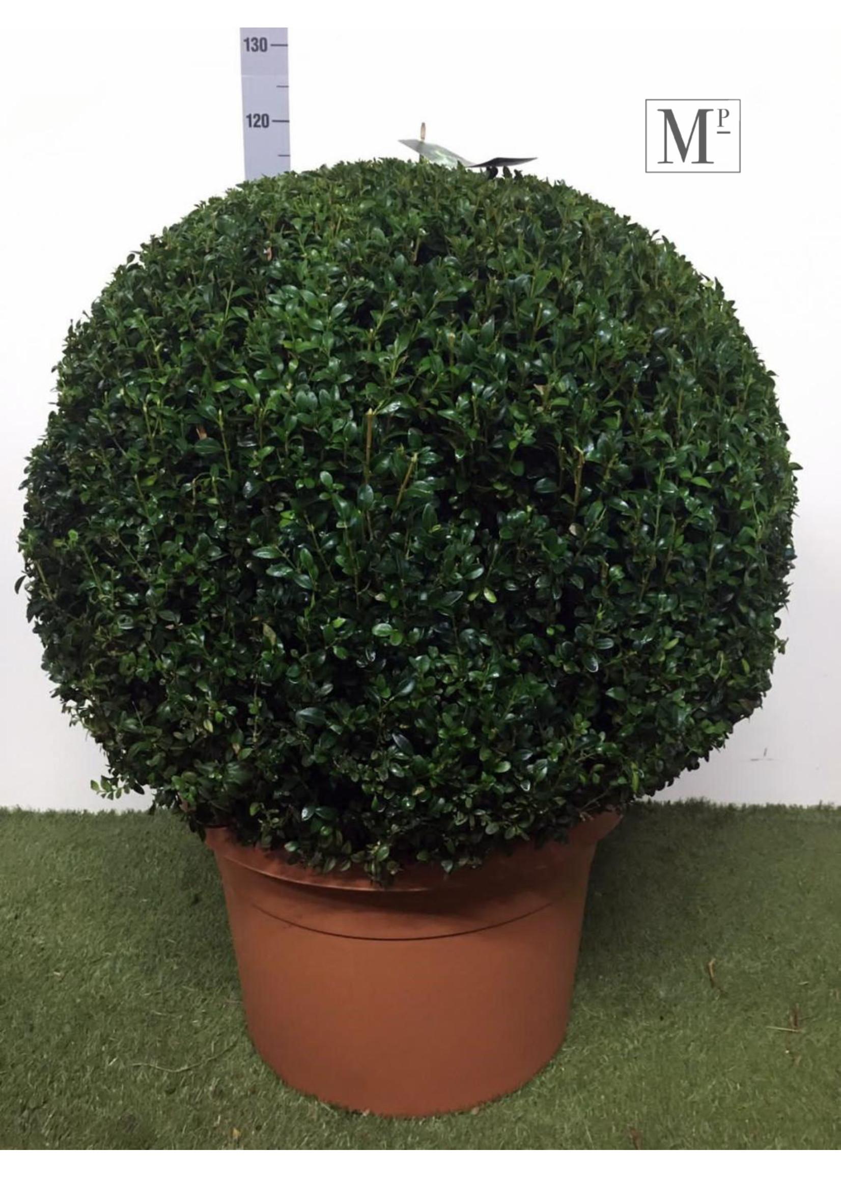 Buxus Buxus Bolvormig 80cm