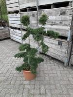 Ilex crenata Kinme Bonsai 140cm