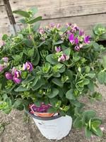 Polygala Polygala myrtifolia 'Baby Pink'