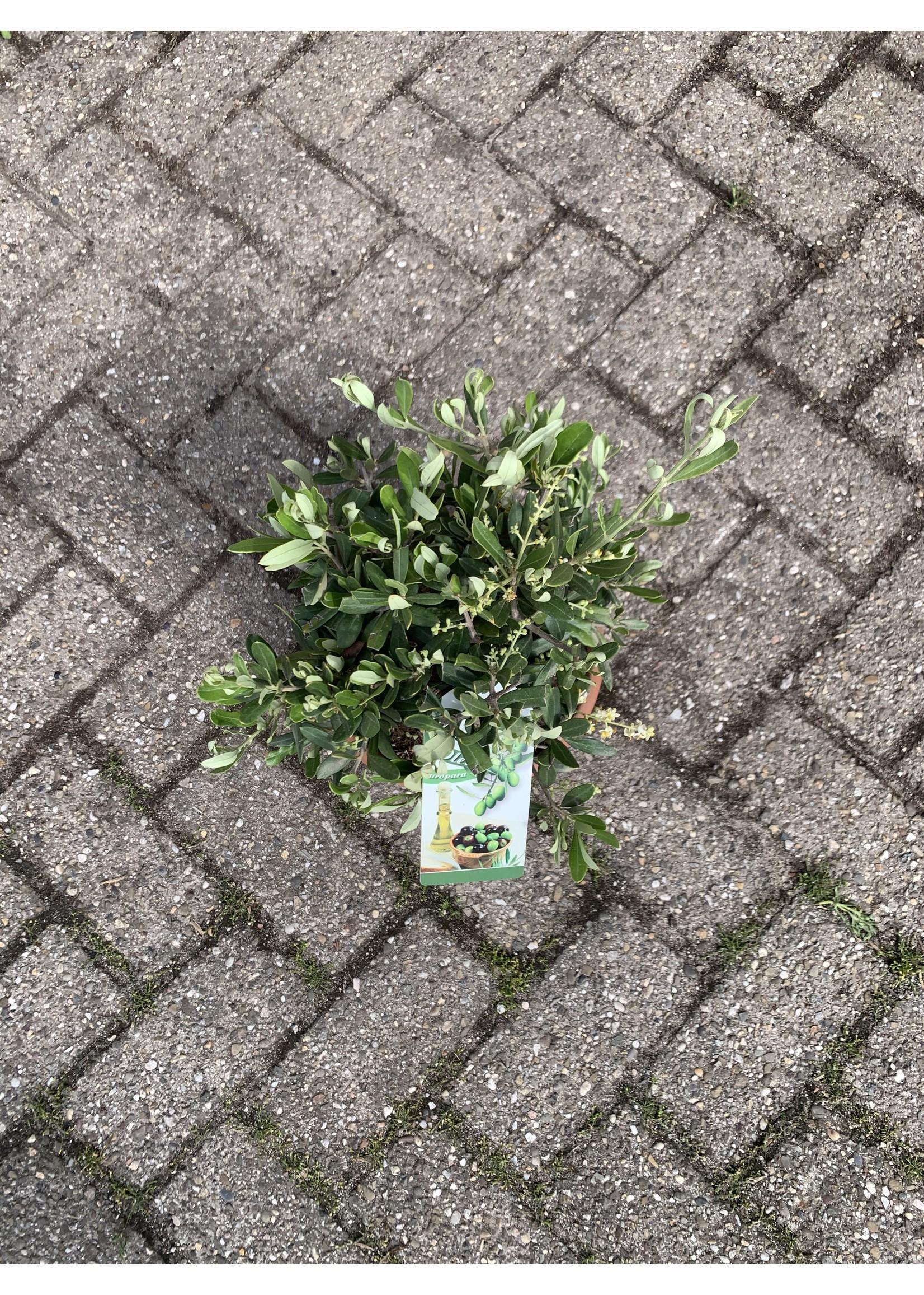 Olijf Olijf Bonsai in Schaal - 40cm