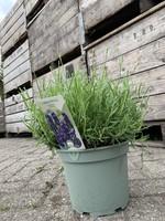 Lavandula Lavandula angustifolia 'Hidcote'
