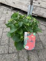 Hydrangea Hortensia - Boeren Hortensia