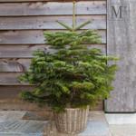 Kerstbomen in pot