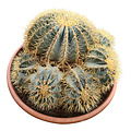 Ferocactus glaucescens FGL-1 (schaal 50 cm)
