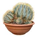 Ferocactus glaucescens FGL-2 (schaal 50 cm)