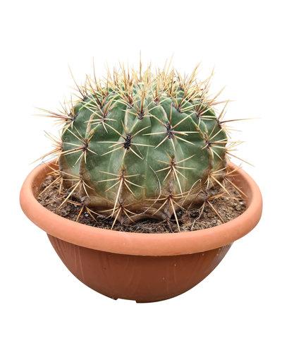 Ferocactus histrix (schaal 30 cm)