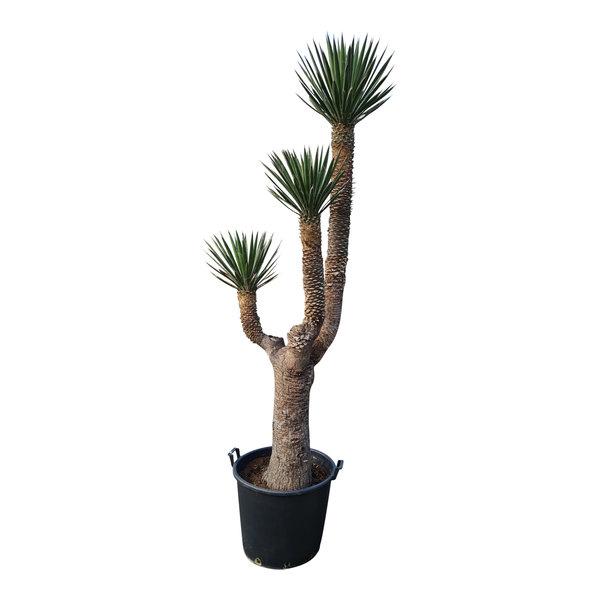 "Yucca filifera ""Multihead""  (YFM-10)"