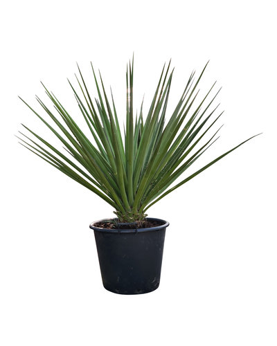 Yucca torreyi 80-100 cm