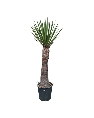 Yucca faxoniana (YFA-2)