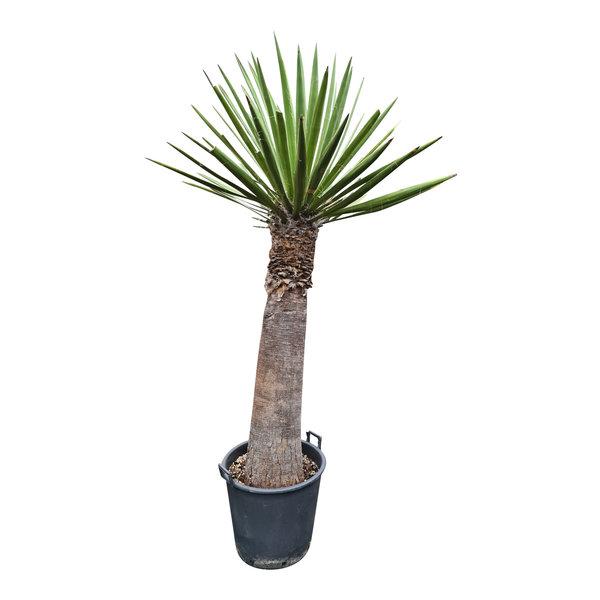 Yucca faxoniana (YFA-1)