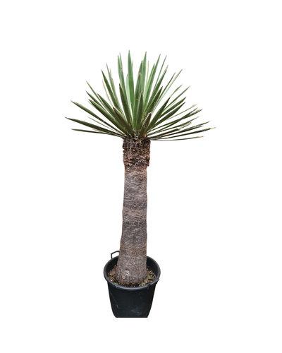 Yucca faxoniana (YFA-6)