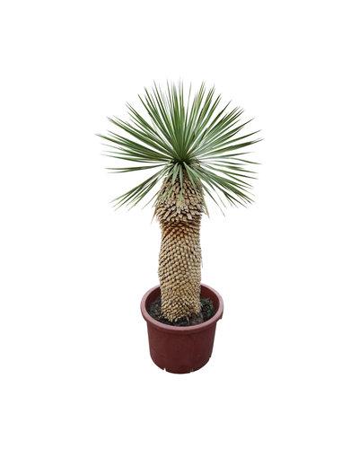 "Yucca thompsoniana ""Hybride"" (YHY-11)"