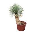 "Yucca thompsoniana ""Hybride"" (YHY-13)"