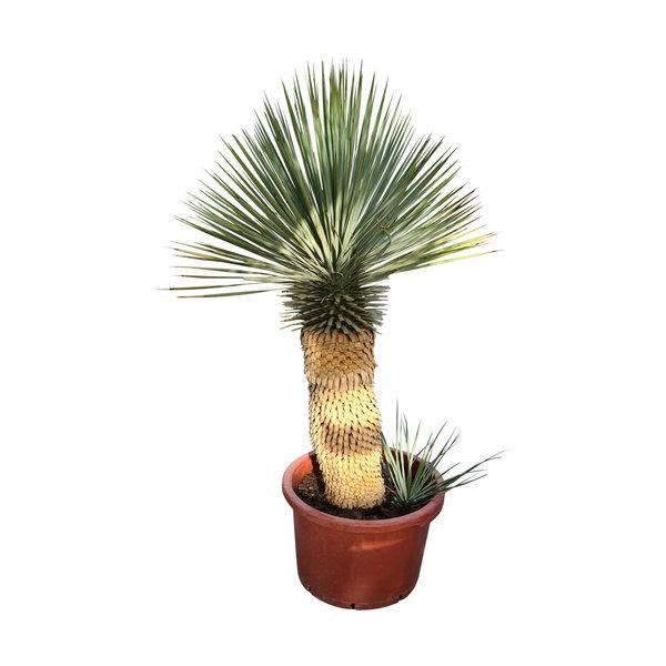 "Yucca thompsoniana ""Hybride"" (YHY-14)"