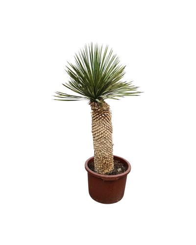 "Yucca thompsoniana ""Hybride"" (YHY-15)"