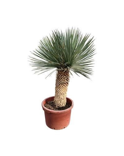 "Yucca thompsoniana ""Hybride"" (YHY-7)"