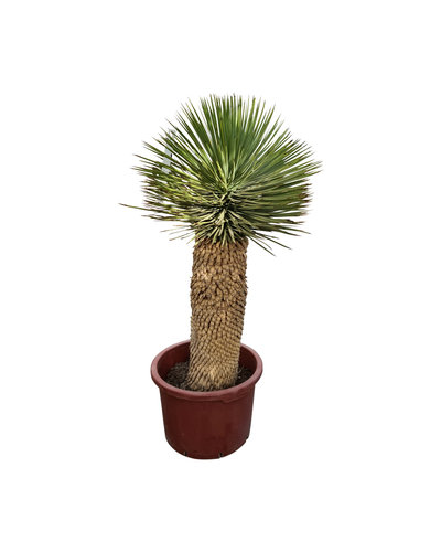 "Yucca thompsoniana ""Hybride"" (YHY-8)"