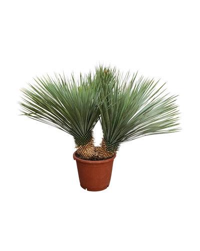 "Yucca rostrata ""Multitrunc"" (YRD-7)"