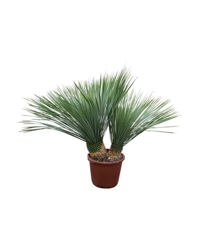 "Yucca rostrata ""Multitrunc"" (YRD-10)"