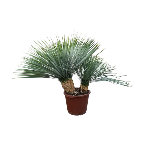 "Yucca rostrata ""Multitrunc"" (YRD-11)"