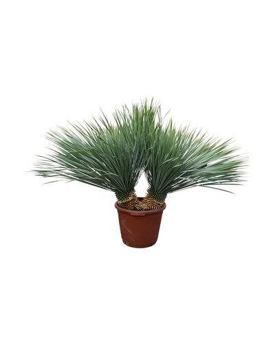 "Yucca rostrata ""Multitrunc"" (YRD-12)"