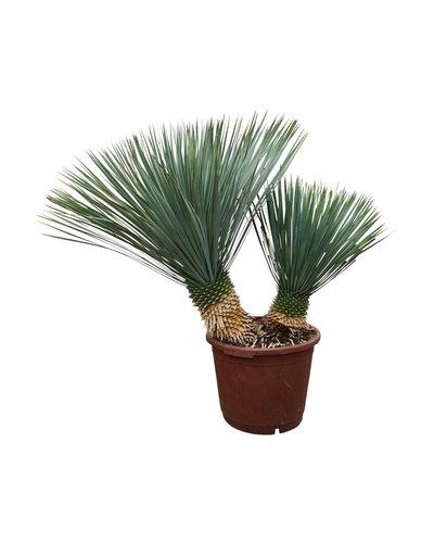 "Yucca rostrata ""Multitrunc"" (YRD-13)"