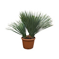 "Yucca rostrata ""Multitrunc"" (YRD-14)"